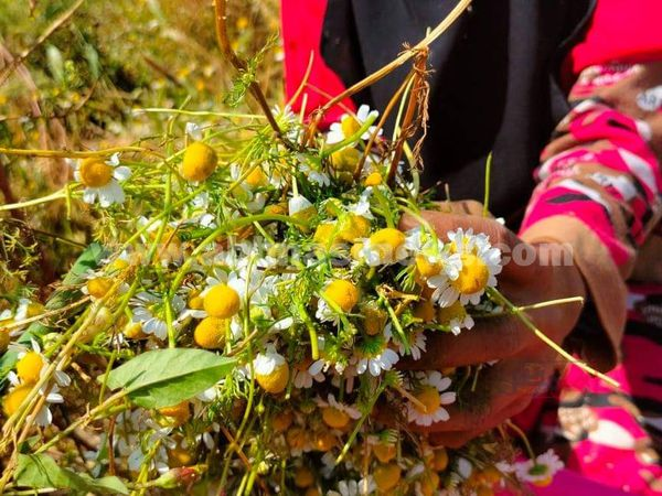 حصاد النباتات الطبية و العطريه