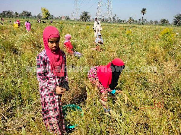 فتيات الفيوم زهور الحقول....