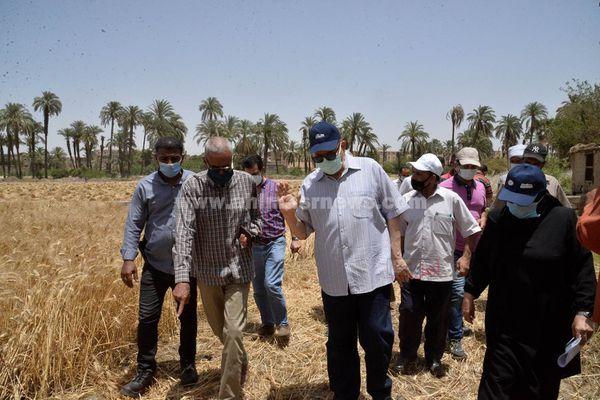 حصاد القمح باسيوط