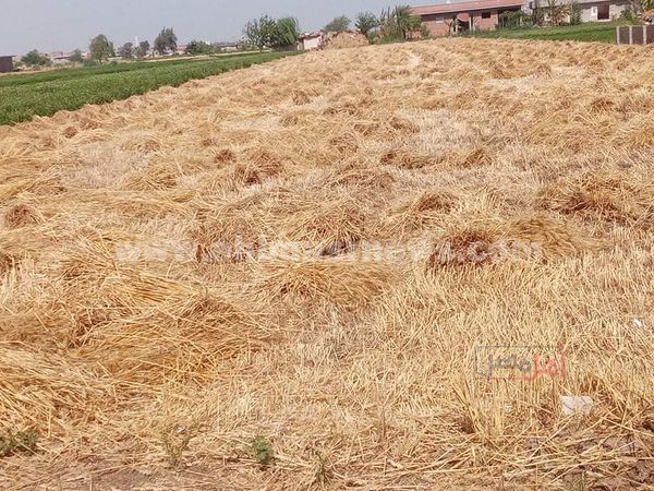 حصاد القمح في البحيرة