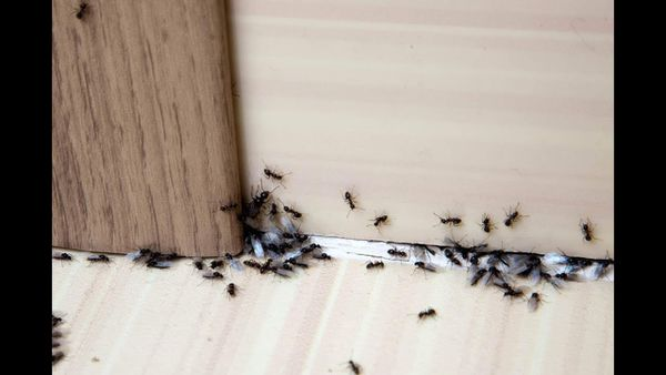 انتشار النمل في المنزل وعلاقته بالحسد وطرق للتخلص منه