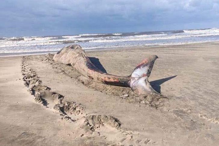 أنثى الحوت الأحدب