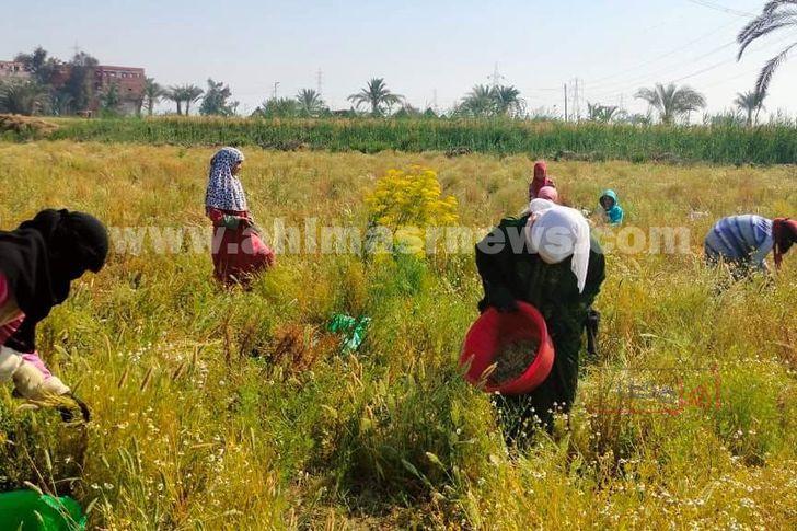 حصاد النباتات الطبية والعطرية بالفيوم