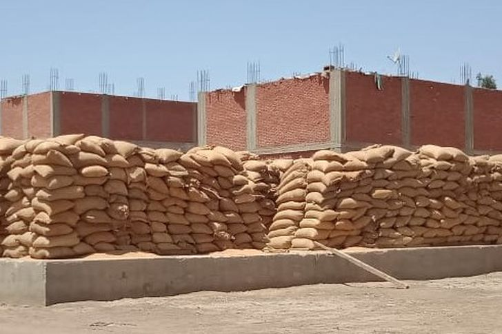 القمح ببني سويف