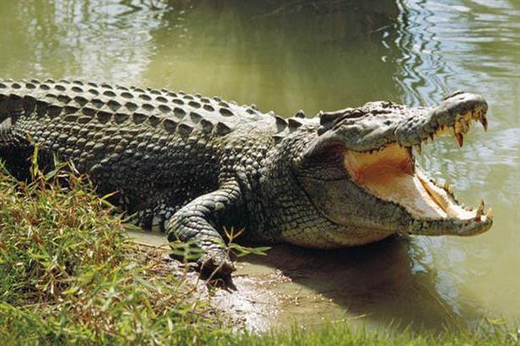 تمساح يهاجم رجلا سقط من على دراجته في فلوريدا
