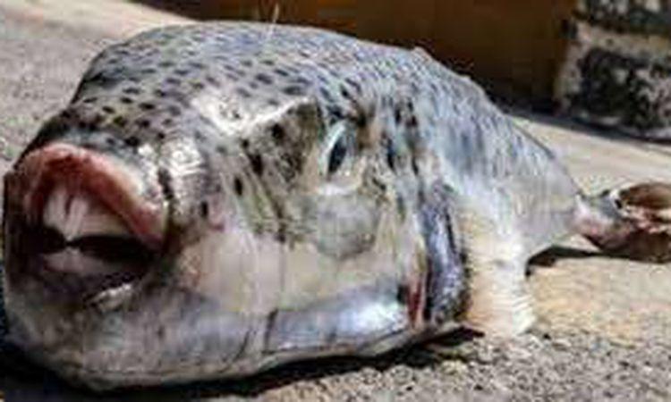 سمكة الأرنب السامة