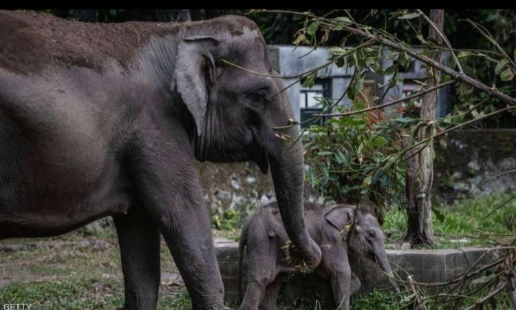 قتل الفيلة